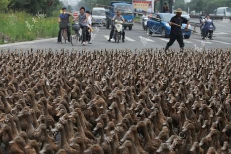 Ducks block road in China