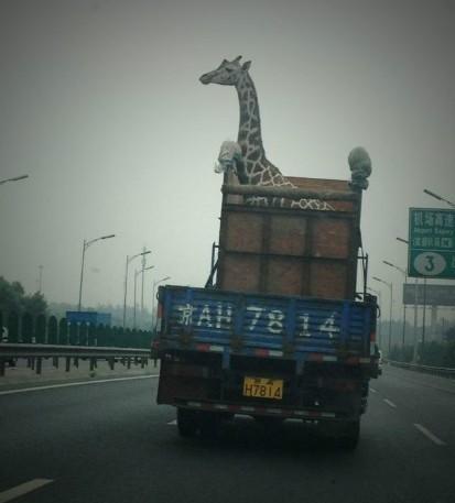 Transporting a Giraffe in China
