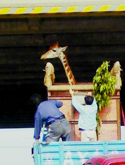 Transporting a Giraffe in China