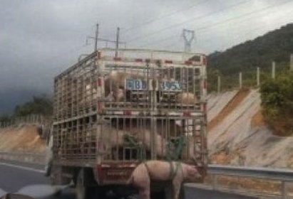 Transporting Piggies, the Chinese Way