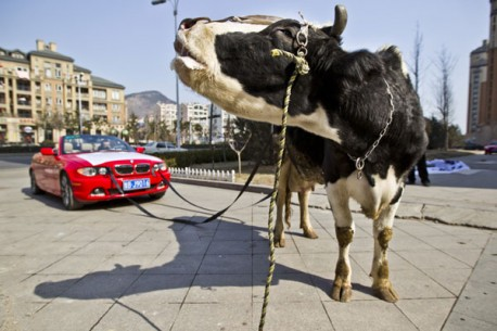 BMW owner in China is Angry, hires Cow