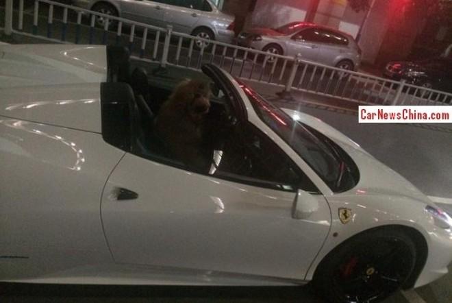 Rich Chinese Punk puts Monkey in Ferrari 458 Spider